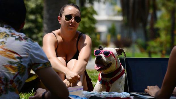 2013年6月29日,加利福尼亚州洛杉矶的Echo Lake Park,船长,一名拳击手比特犬组合,戴着太阳镜。