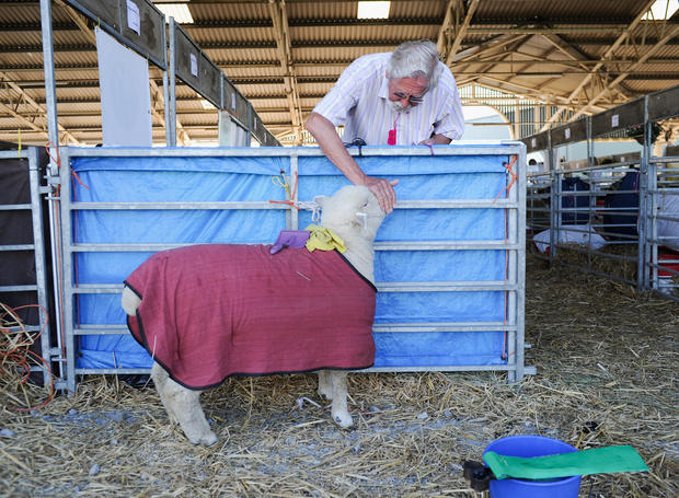 Spotted sheep, fancy pigs at UK's biggest agriculture show