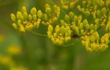 Poison parsnip: Worse than poison ivy