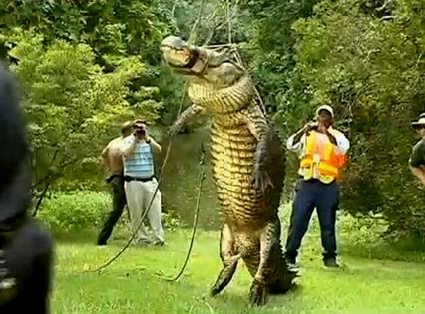 An alligator is killed and bound by authorities after it ate an 80-pound Husky that was walking with its owner in Jacksonville, Fla.