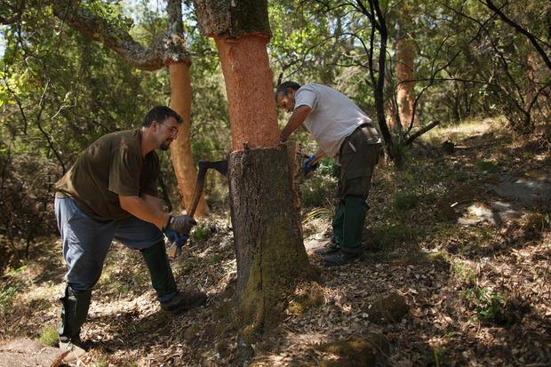 Cork harvest in Spain
