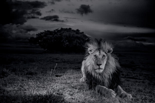 African lions: Up close and personal