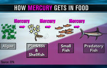 Rising mercury: Study suggests increase of toxins in Pacific fish