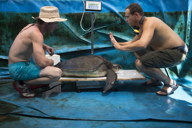 Israeli sea turtles get helping hand