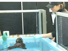 A lot of the credit for the increase in central California's otter population is going to the rescue team from Monterey Bay Aquarium.