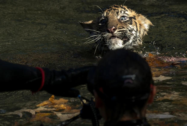 Tiny tigers face swim test