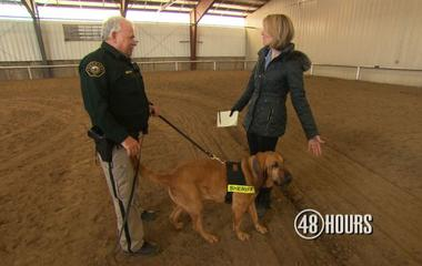 How a bloodhound sniffs out a suspect