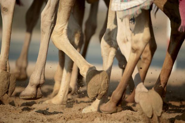 Camel racing in Dubai