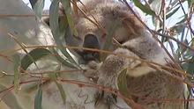 koalamovie_640x360.jpg