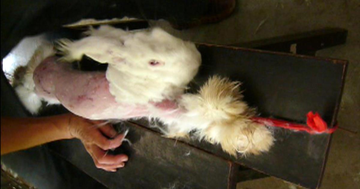 chinese angora rabbit - photo #3