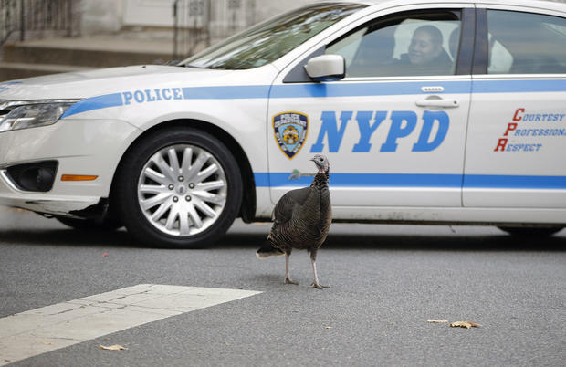 Turkeys hit the city