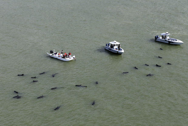 Pilot whales stranded in Fla.