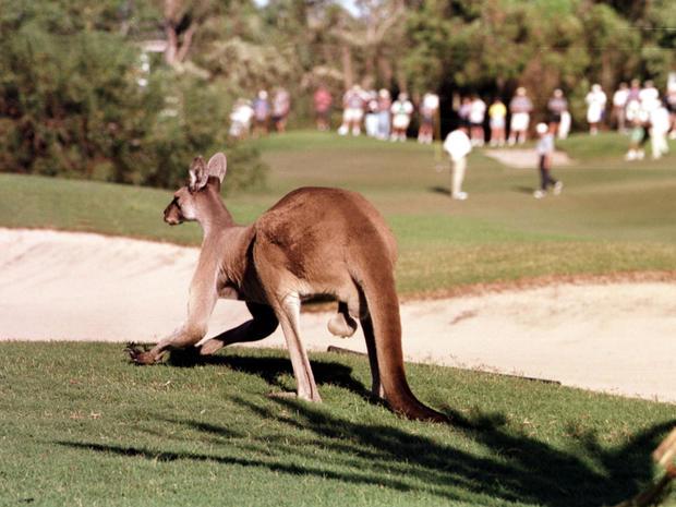 Why are kangaroos endangered?
