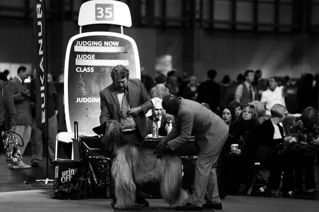 Canine competition at Crufts