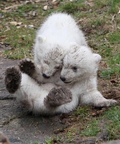 Twin polar bear cubs make debut