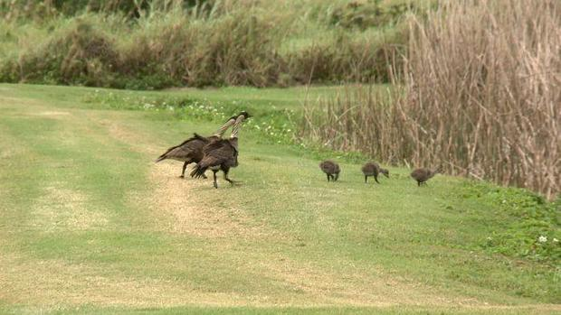 Rare Hawaiian nene make appearance in Oahu