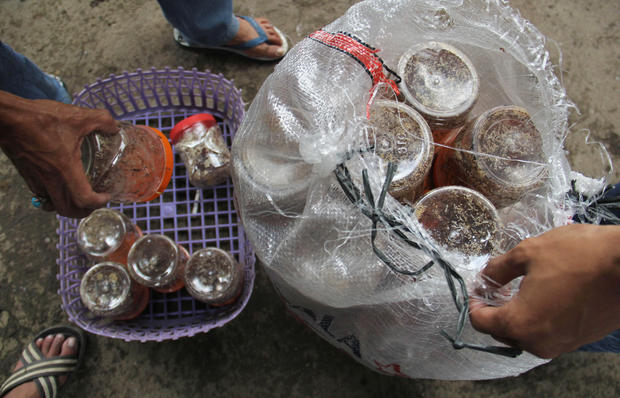 Ant farmers of Indonesia