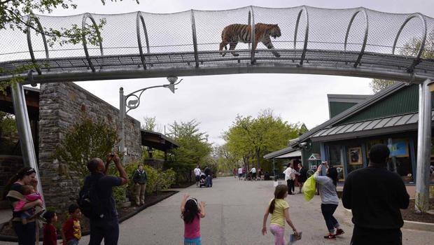 2014年5月7日,当游客在费城费城动物园看时,一只阿穆尔虎走过新的大猫过境点。