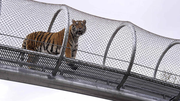 An Amur tiger walks over the new Big Cat Crossing at the Philadelphia Zoo in Philadelphia May 7, 2014.