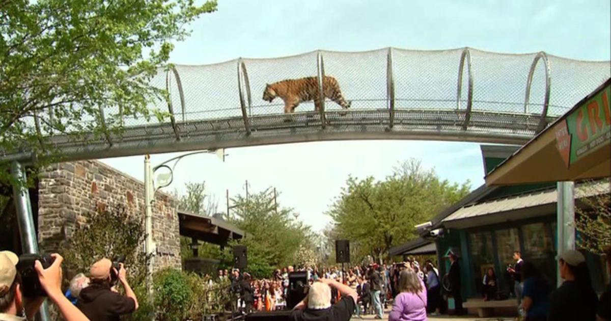 Philadelphia Zoo S Quot Big Cat Crossing Quot Videos Cbs News