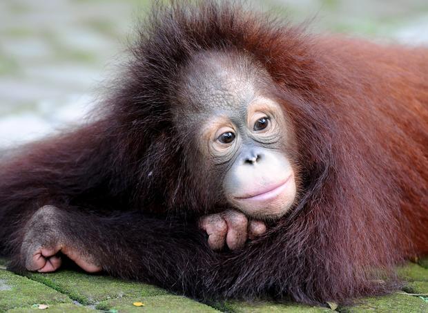 Orangutan brothers Damai and Rizki