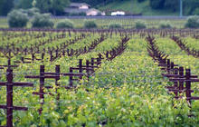 Climate change brings short-term boost to winegrowers, but long-term fears