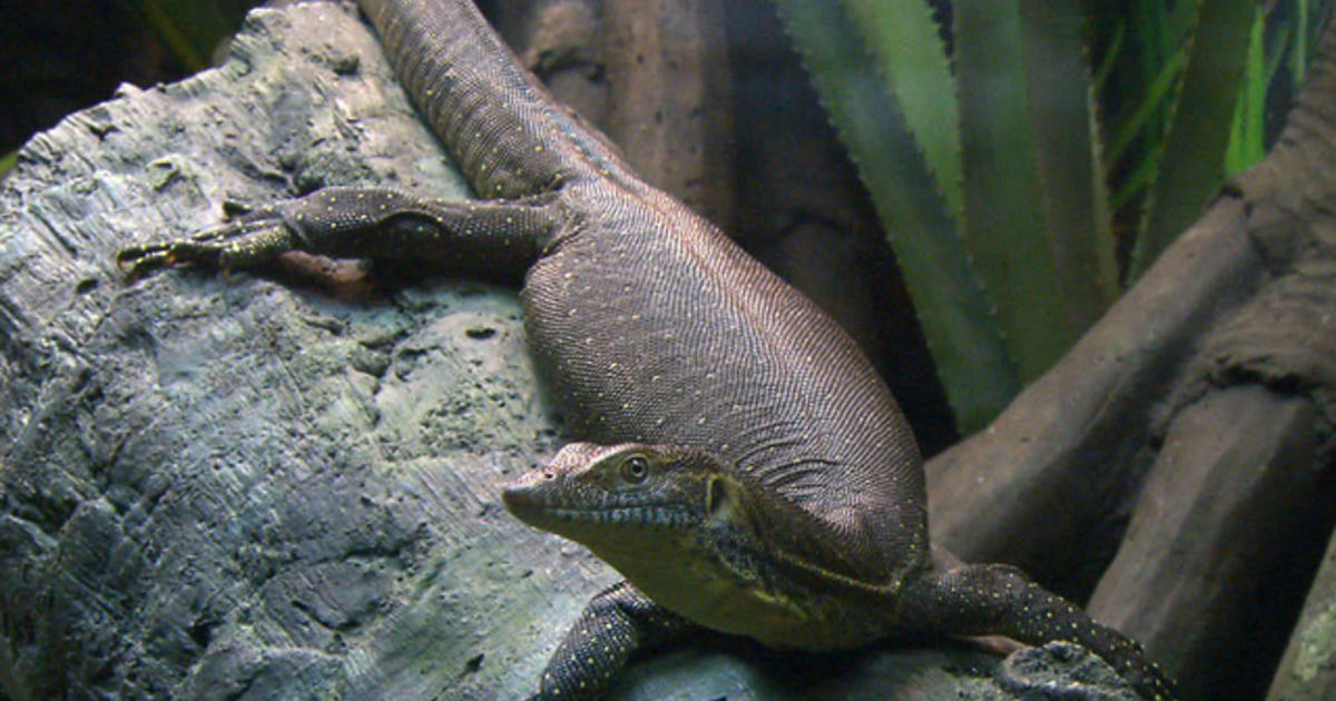 komodo dragons featured at bronx zoo in new reptile exhibit videos cbs news. Black Bedroom Furniture Sets. Home Design Ideas