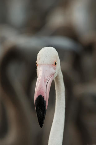 Flamingos in focus