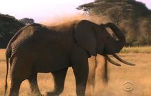 Poachers push elephants to brink of extinction