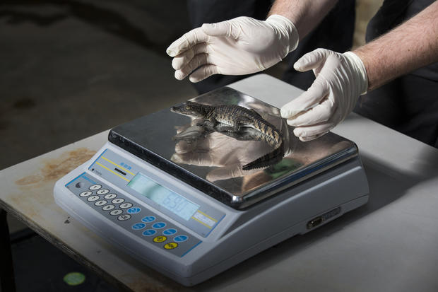 London Zoo weigh-in