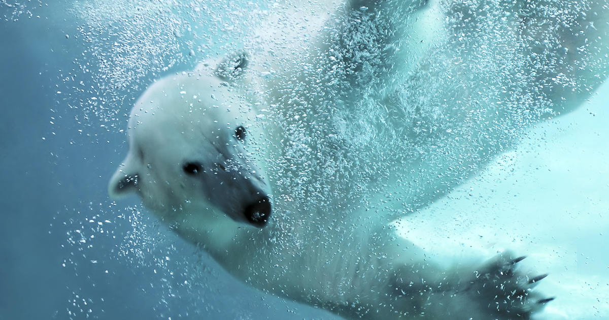 Polar Bear Awes With Record-breaking Dive
