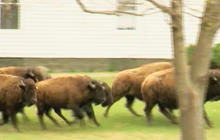 15 buffalo killed in Albany