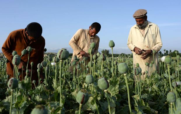 Afghan farmers harvest opium sap from a poppy field in Surkh Rod District, of Nangarhar province