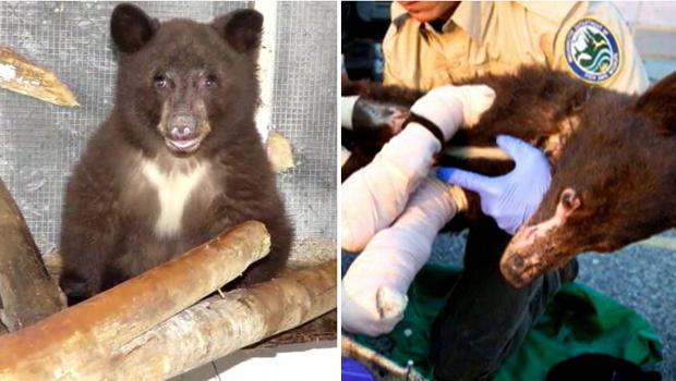 2014年,在华盛顿中部,一只黑熊在野火中严重烧毁,预计将于2015年6月3日释放回野外。