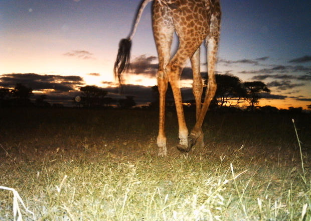 Up close and personal with Serengeti's elusive wildlife