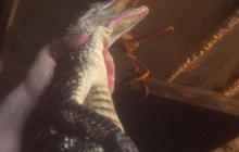 Video shows horrific treatment of alligators slaughtered for luxury bags