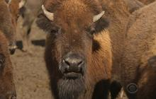 American bison make a comeback in the Midwest