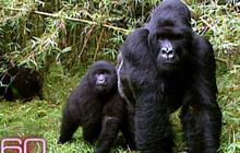 African Gorillas In Peril