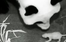 Healthy panda cub at the National Zoo