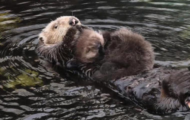 Otter surprises California aquarium by delivering baby