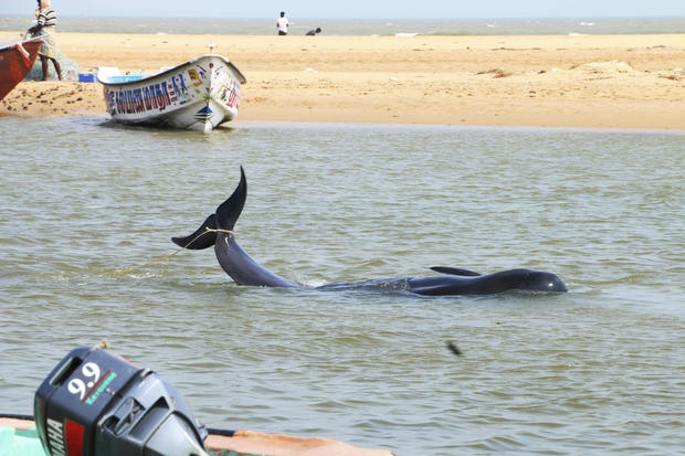 Beached whales in India
