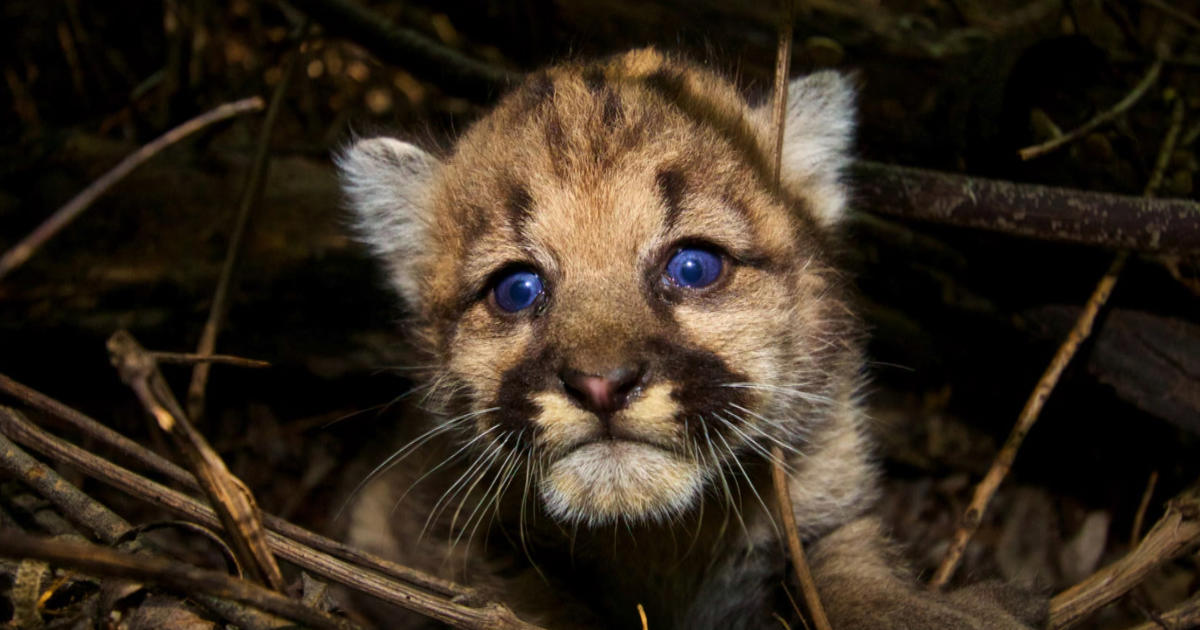 Mountain Lions Of L A Cbs News
