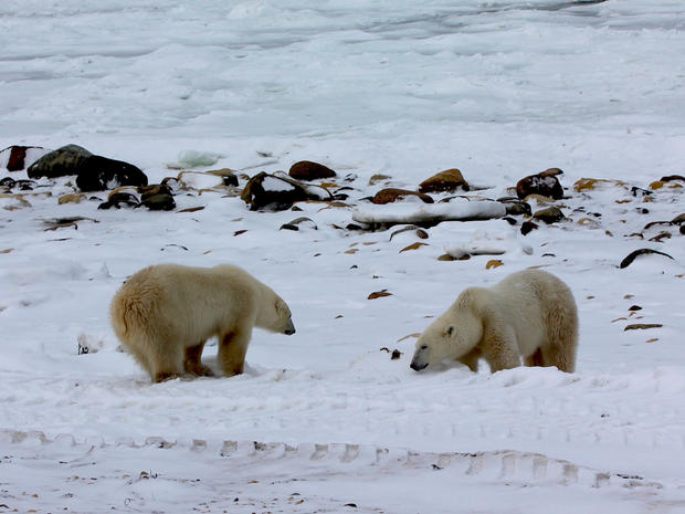 A gathering of polar bears