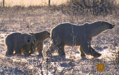 A walk among polar bears