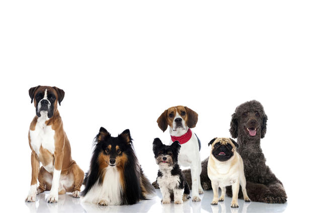 Top 10 dog breeds top dog breeds in the u s pictures for Different types of puppies breeds