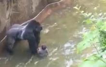Zoo director defends decision to kill gorilla