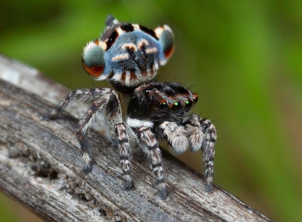 Flamboyant peacock spiders
