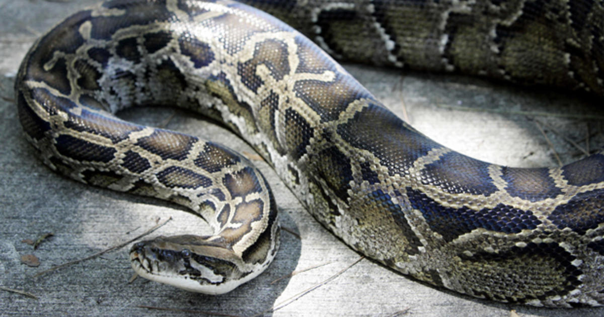 10-foot-long snake eats beaver, swims across river where kids play
