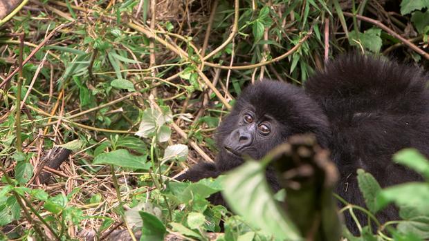 phillips-climate-gorilla.jpg