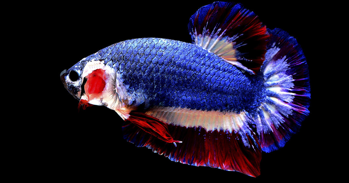 thailand flag betta siamese fighting fish fetches high